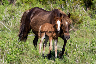 Foal #39 of 2016 Unforgettable/Diamond's 2016 Foal Probable Sire:  Puzzle Chestnut with blaze Filly Northern Herd First seen 5/24/16