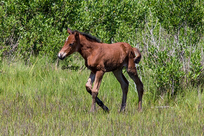 Foal #47 of 2016 Summer Breeze's 2016 Foal Probable Sire:  Wild Thing Bay Filly with Star & Snip Northern Herd First seen 5/31/16