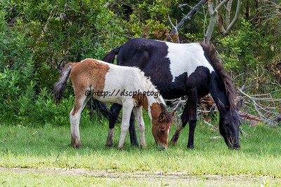 Auntie Pixie Dust with Grandma's Dream's Filly