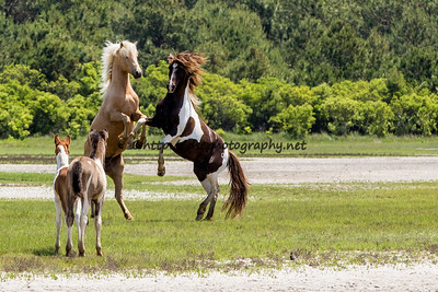 Chief & Puzzle with two of Puzzle's Foals watching