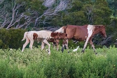 Cinnamon Blaze's & Kimmee-Sue's Foals with CJ Samm'n