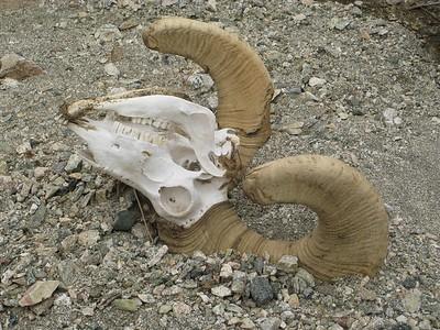 Big horn skull