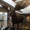 Greeted by Mr, Moose.  pic just in case we don't see a real one.