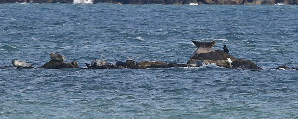 Great Black-backed Gull, Great Cormorant, & Harbor Seals