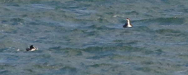 Pacific Loon & Common Eider