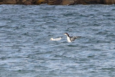 Common Loon & Herring Gull