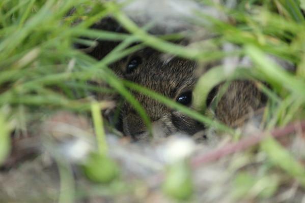 Baby bunnies in the backyard.