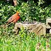 Cardinal, Red Bird.
