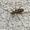 MET042016bugs locust borer