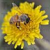 MET042016bugs bee