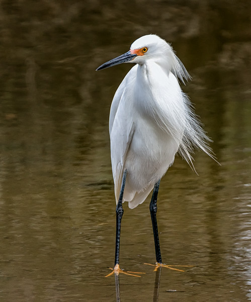 Snowy Egret with Golden Slippers