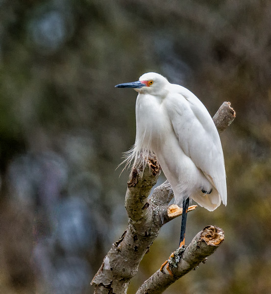 Snowy Egret Resting