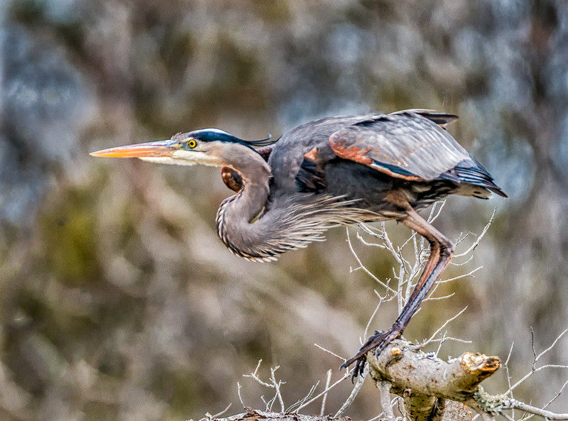 Great Blue Heron about to take flight