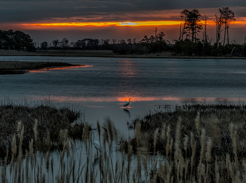 Great Egrets at Sunrise