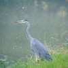 A grey heron on the Grand Union Canal at Bulbourne.
