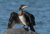 Great cormorant, Phalacrocorax carbo, Gilleleje, Danmark, Aug-2016