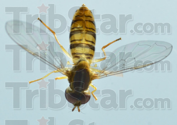 MET081016 hover fly