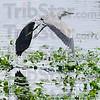 MET073108dewey heron