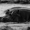 Hippopotamus in Chobe National Park, Botswana