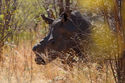 White Rhinocerous in Matopo National Park, Zimbabwe