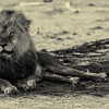 Hwange National Park Lion
