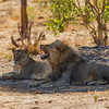 Lions hanging out in the afternoon