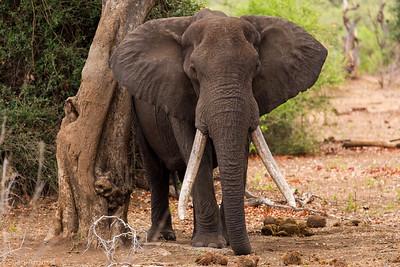 Huge Bull Elephant