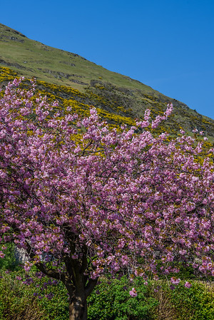 Blossoms of Clackmannanshire