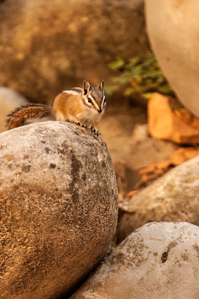 A small chipmunk checks hikers' packs for food it can steal in the bottom of Zion's narrows.