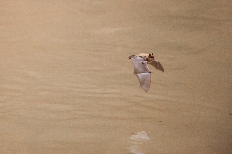 A bat flies circles in the narrows, catching bugs in a rather frantic aerobatic display.