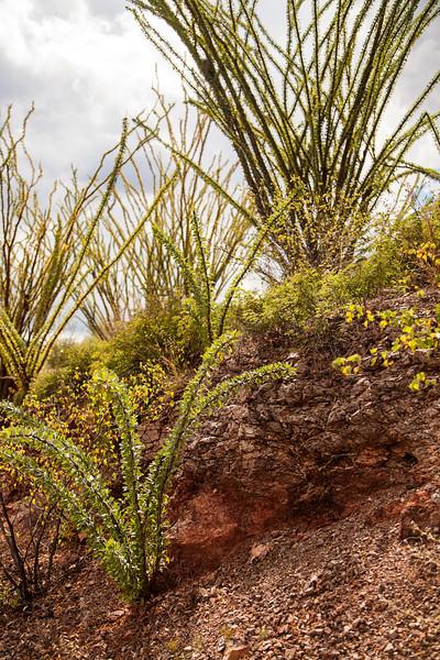 Ocatillo rises out of the Sonoran desert north of Hermosillo, Mexico.