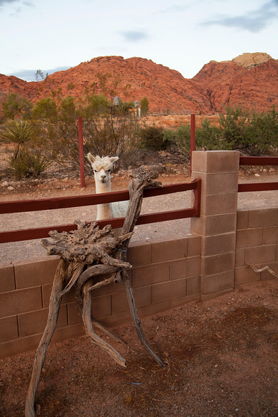 An alpaca poses with an oddly alpaca shaped bit of artwork in Calico Basin, Red Rocks, Nevada.