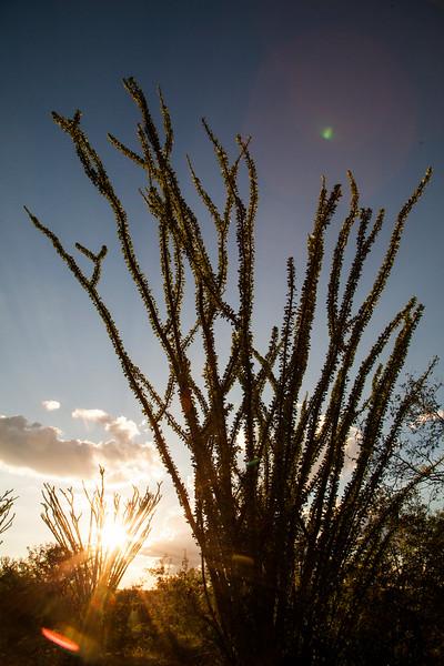 Ocatillo reaches skyward, backlit by the setting sun in Sonora, Mexico.