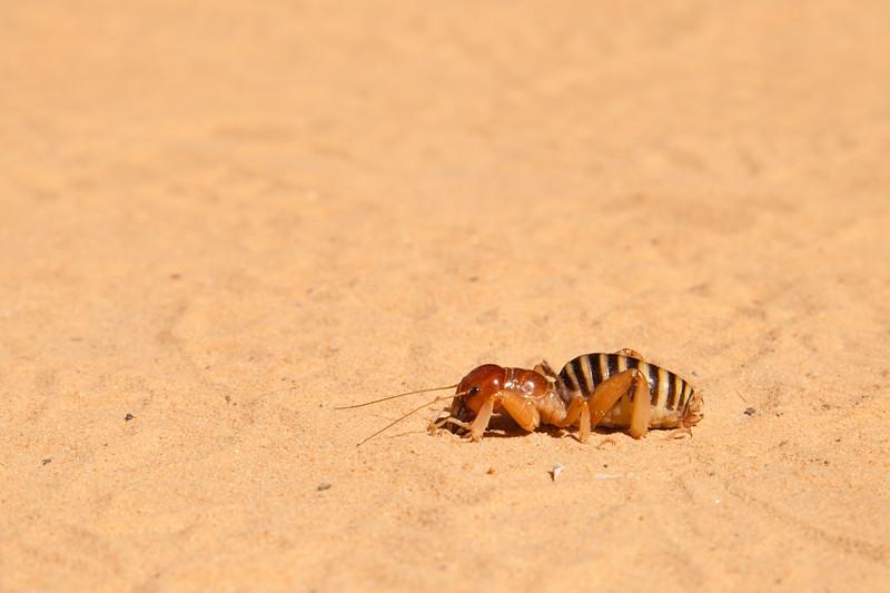 This cricket seems a bit lost, wandering across the sidewalk in the open sun.