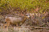 Deer in Zion are plentiful and can be seen at fairly close quarters.