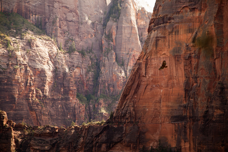 The view from one pitch up looks down over Zion Canyon as this aerial predator carves circles in the sky.