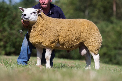 210-Strathbogie-Your-The-Ram-650gns-9060