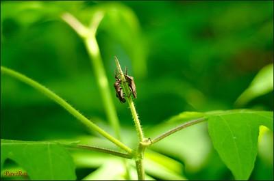 Bugs--Rajendra Prasad Rampa