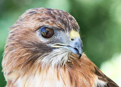 Jason Pandy - Red-Tail Hawk