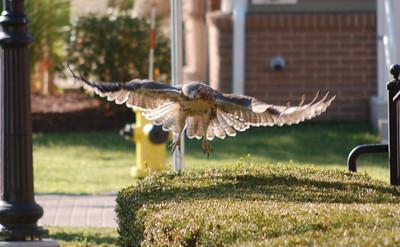 Susan Thomson_Redtail in flight