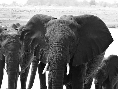 Nora Christina Burkard_Elephants Chobe NP Botswana