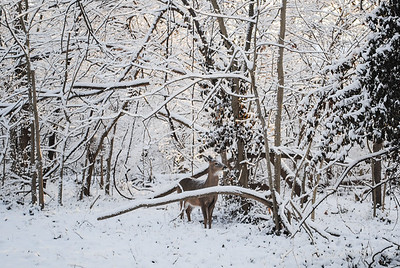 Tiffany Harper_Overbrook Dr Snowy Deer