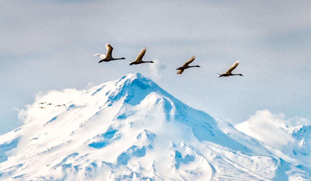 Tundra Swans over Mt Shasta