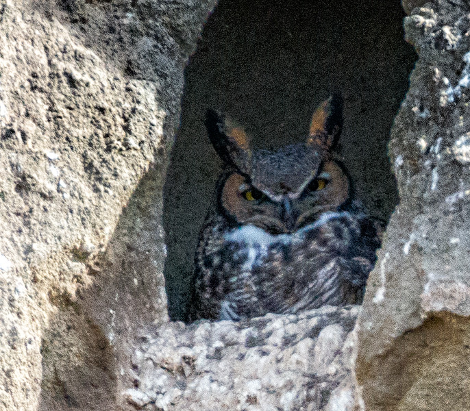 Great Horned Owl near the Petroglyphs