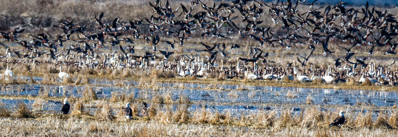 Eagles, Canada Geese and Tundra Swans