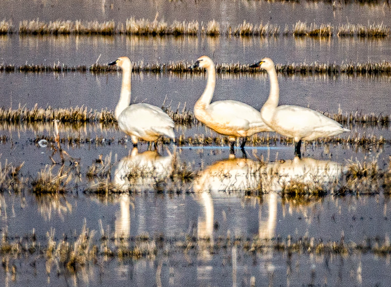 Reflections of Tundra Swans