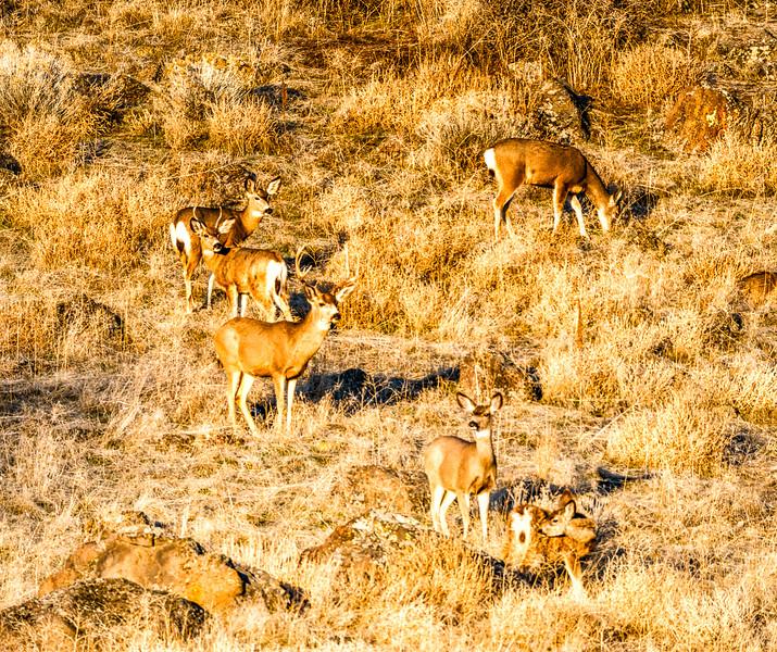 Mule Deer Feeding near Tule Lake