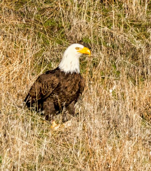 Bald Eagle on a hillside