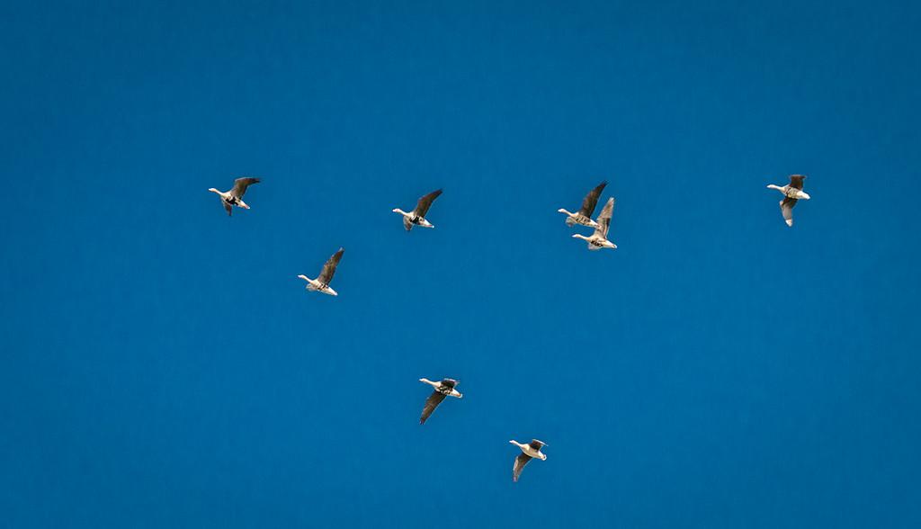 Tundra Swans in Flight