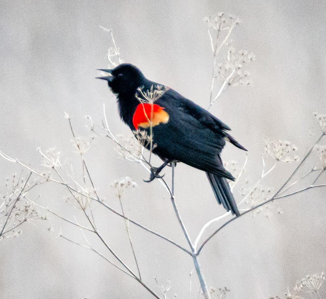 Red-winged Blackbird around Tule Lake